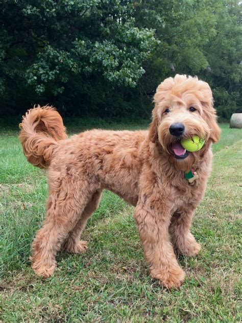 best recomendatuons for haircuts for goldendoodles goldendoodle haircuts pictures blackhairstylecuts com