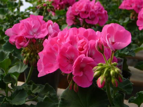 flowering plants westside nurseries greenhouses ltd