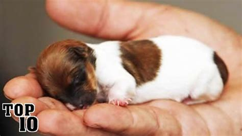 the tiniest puppy in the world top 10 smallest dogs in the world