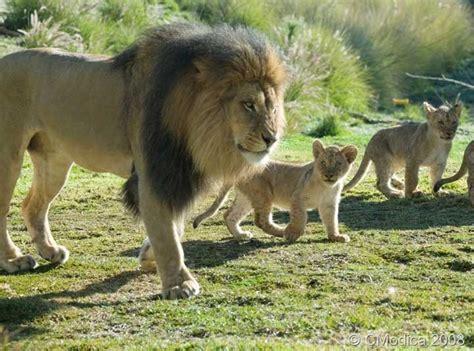 google images lion lion dad and cub google search lions
