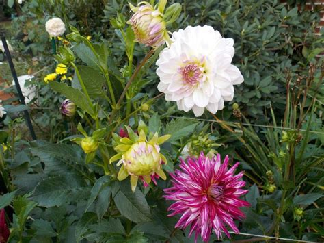 unbloomed peonies 100 unbloomed peonies browse all plants garden