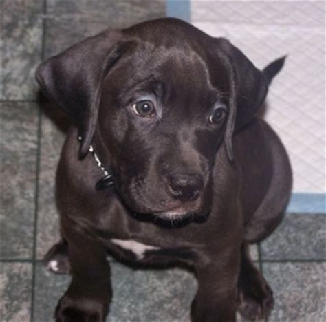 lab mix puppies for sale in michigan boxer lab mix puppies for sale ohio