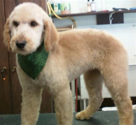 mini goldendoodle haircuts grooming a mini goldendoodle wavy hair