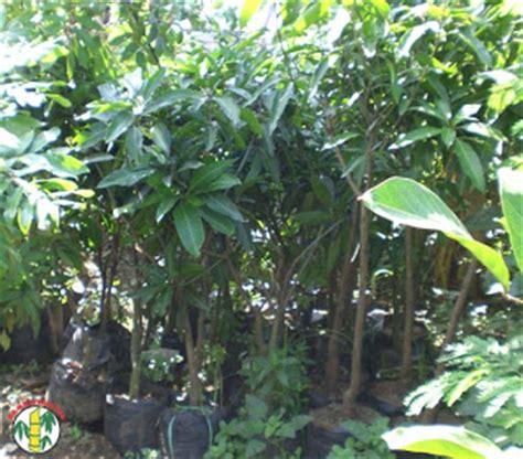 Nature Stek Durian bambu kuning nature runy garden bibit kami