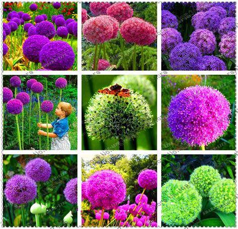 Flower Garden Seeds Creative Plant 100pcs Seeds Allium Giganteum Flower Seed Flower Bonsai Plant Diy