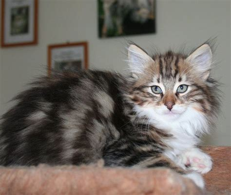 cats breeders forest cat michigan breeder cats