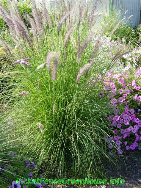 how to grow pennisetum mountain ruby grass an easy to