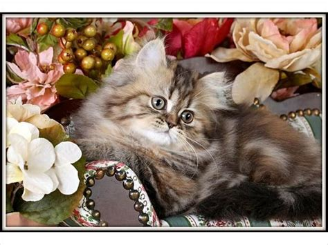 rug hugger breeders 12 best images about rug huggers on kittens for sale and tea cups