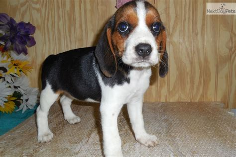 beagle puppies for sale in illinois beagle puppies for sale in chicago illinois beagle puppy design breeds picture