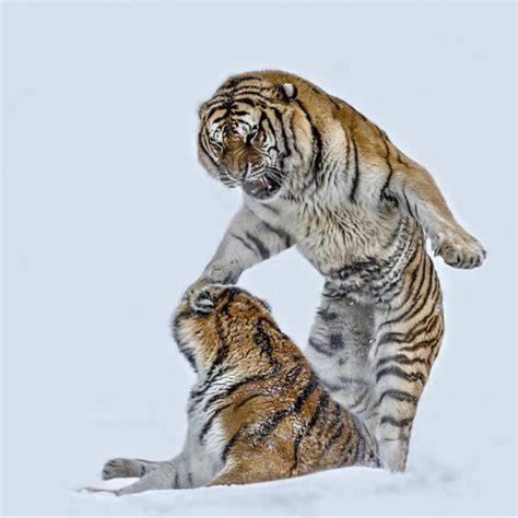 imagenes sorprendentes de animales salvajes impactantes fotos de animales salvajes tomadas taringa