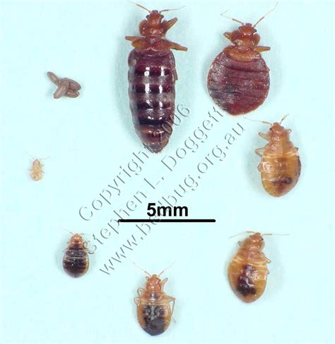 a picture of bed bugs the other side of me bed bugs is killing me