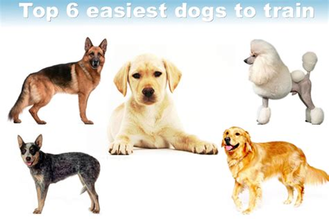 easiest dog to house train easiest dogs to train your special dog