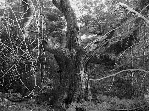 elm tree symbolism elm tree symbolism 100 elm tree symbolism celtic tree