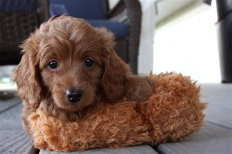 ginger doodle teacup goldendoodle f2b family friendly and only 6 10