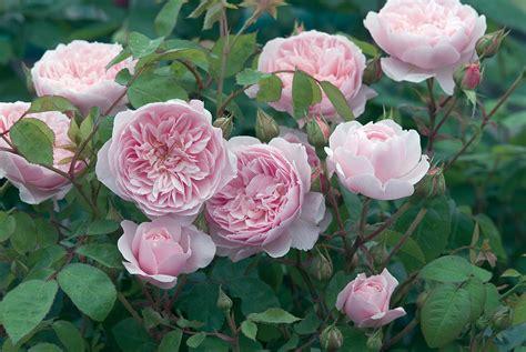 david austin roses distinct vision
