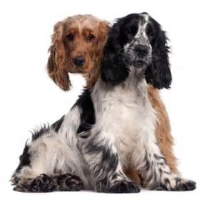 cocker spaniel information the facts