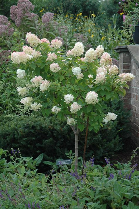 serenity in the garden limelight and little lime hydrangea great shrubs for any garden