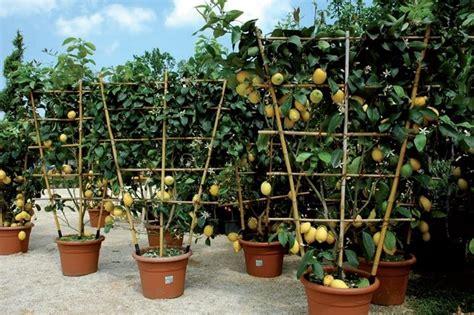 serra per limone in vaso vendita alberi da frutto alberi da frutto alberi da