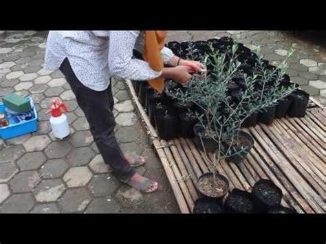 Bibit Tin Depok cara memelihara pohon zaitun 09 cara merawat