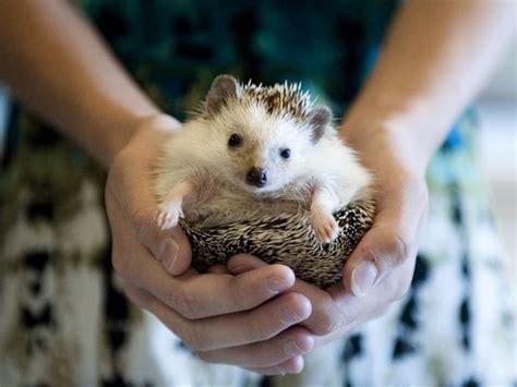 have a hedgehog beware of pets spreading salmonella