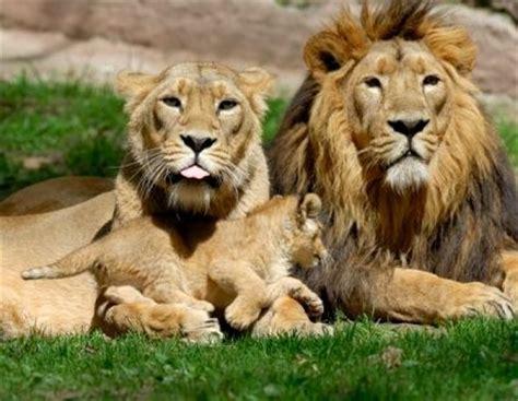 imagenes de tres leones juntos el zoo de lisboa