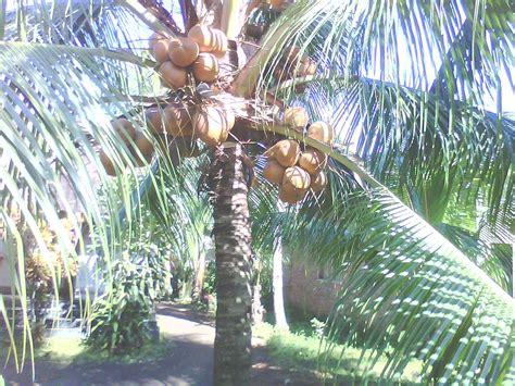 Bibit Kelapa Kopyor Malang jual bibit kelapa kopyor genjah asli pati aneka bibit
