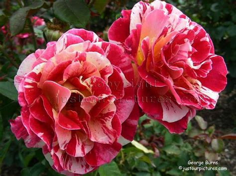 pictures  roses george burns rose picture
