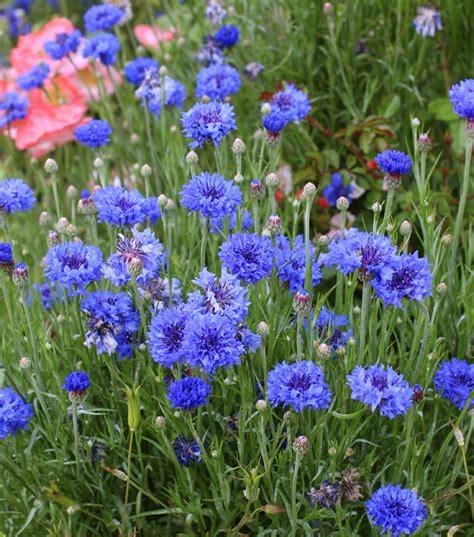 fiore fiordaliso centaurea cyanus blue diadem quot bachelor s buttons quot buy