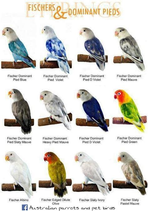 australian parrots and pet birds names for love birds on