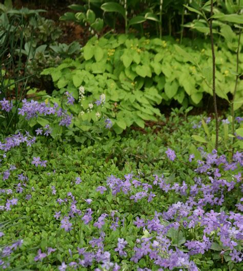treadwells stepables and perennial ground covers in