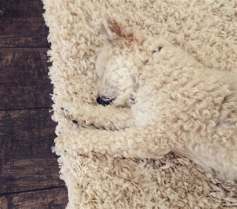 Best Rugs For Dogs by The 8 Best Moments Of Camouflage Rover