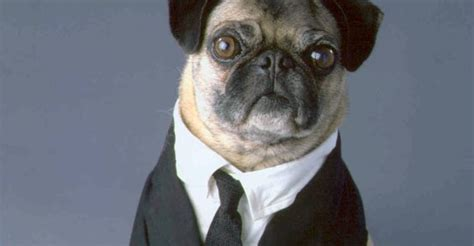 mib pug the best most dangerous dogs in the universe