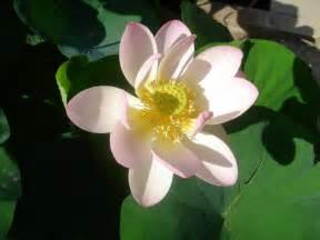 Fleur De Lotus File Fleur De Lotus Jpg Wikimedia Commons