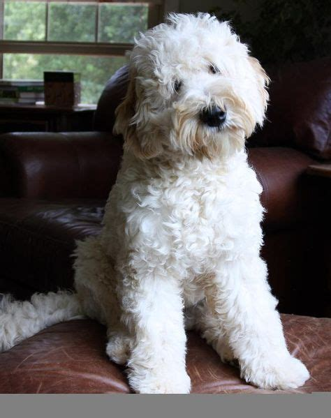 best recomendatuons for haircuts for goldendoodles 17 best ideas about goldendoodle haircuts on pinterest