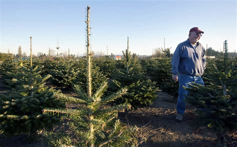 scientists works to develop christmas tree that doesn t