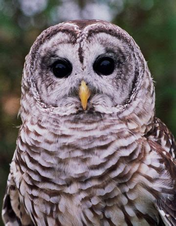 barred owl who cooks for you cosmos of the universe