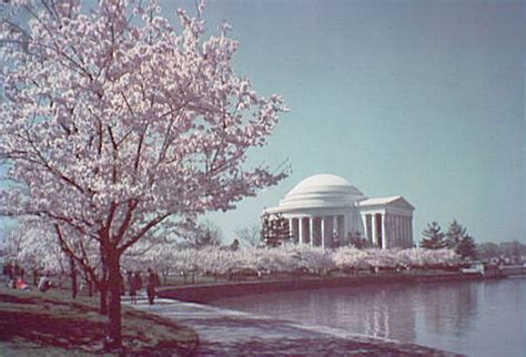 the cherry trees of washington d c