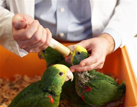 hand feeding formula hari