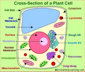 plant cell coloring answer key labeled plant cell plant and animal cell organelle