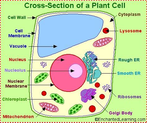 Cross Section Of An Animal Cell Labeled by Biology Animal Cell And Animals On