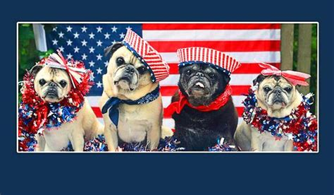 patriotic pug 4 pugs parade on a patriotic 4th of july float paperblog