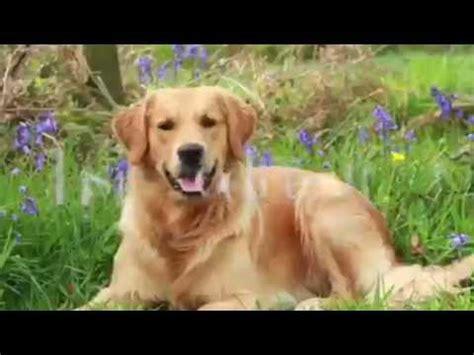 golden retriever facts interesting labrador retriever facts funnydog tv