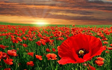 poppy background poppy background 9 background check all