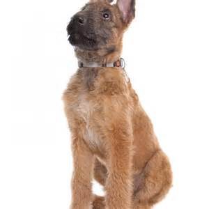 belgian shepherd laekenois puppies for sale laekenois puppies for sale