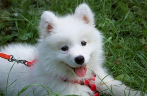 fluffy white puppy big fluffy white a fluffy white samoyed litle pups