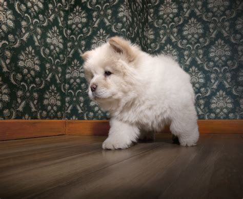 puppy that looks like a cub 10 dogs that look like teddy bears pet care facts