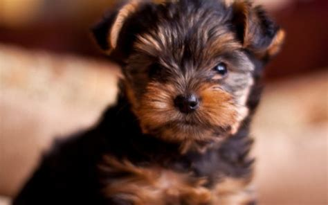 how to breed a yorkie yorkie breed hd desktop wallpapers 4k hd