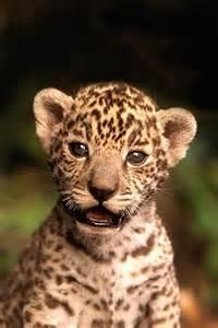 Jaguars Cubs Jaguar Cub Animal Iphone Wallpapers Iphone 5 S 4 S 3g