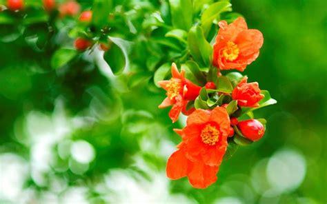 melograno fiori i fiori melograno alberi i fiori melograno