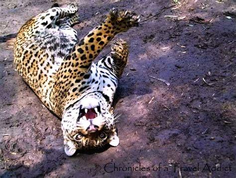 Sofa Jaguar Jumbo tambillo chronicles of a travel addict